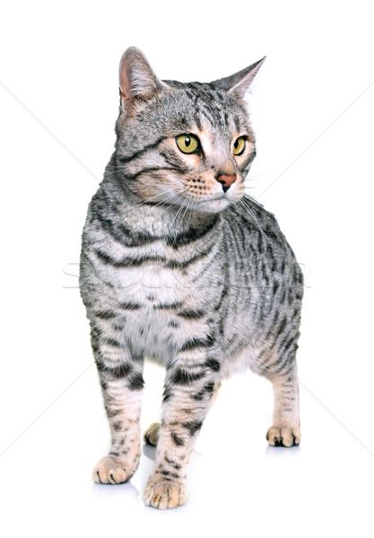 bengal cat in studio Stock photo © cynoclub