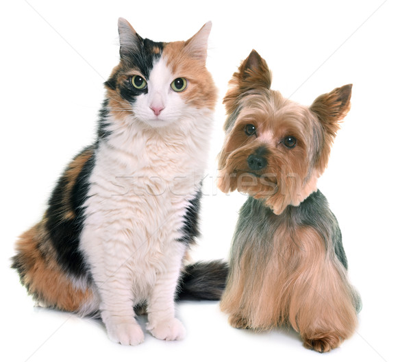 tricolor cat and yorkshire terrier Stock photo © cynoclub