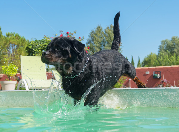 Rottweiler piscine adulte Homme natation animaux Photo stock © cynoclub