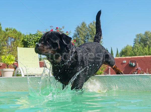 Rottweiler yüzme havuzu yetişkin erkek yüzme hayvan Stok fotoğraf © cynoclub