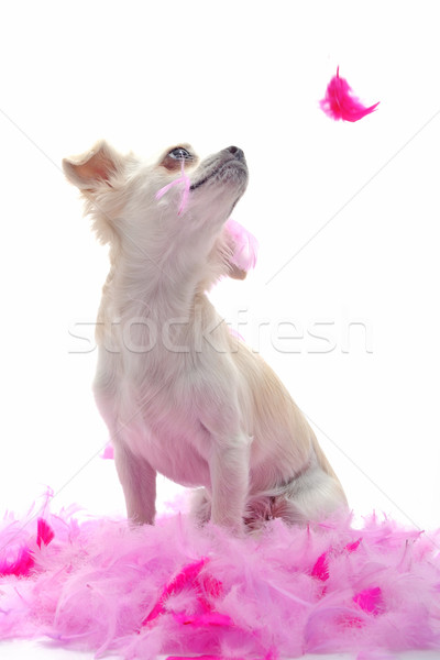 puppy chihuahua with pink feather Stock photo © cynoclub