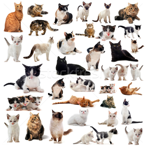 an description of the different types of domestic cats List of mutation cats, history of cat body-type mutations and types of mutations cat guides for each domestic cat breed with descriptions, care, and pictures of cats.