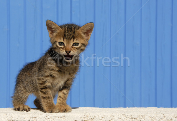 котенка молодые ребенка кошки синий ПЭТ Сток-фото © cynoclub