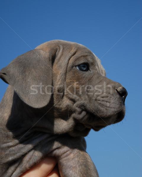 portrait of a baby dog Stock photo © cynoclub