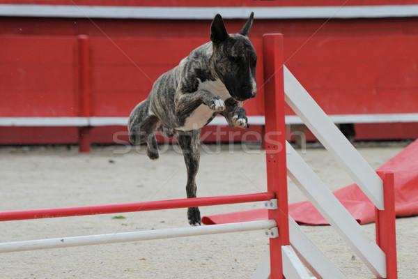 Bika terrier mozgékonyság fajtiszta fut verseny Stock fotó © cynoclub