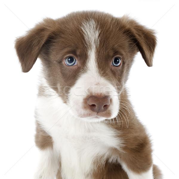 Kutyakölyök juhászkutya portré fehér fej állat Stock fotó © cynoclub
