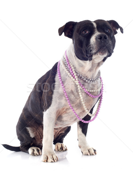 staffordshire bull terrier and pearl collar Stock photo © cynoclub