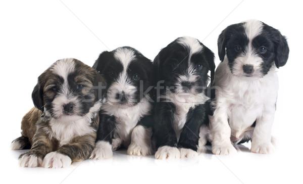 puppies tibetan terrier Stock photo © cynoclub