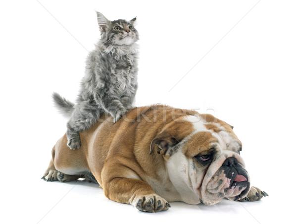 maine coon kitten and english bulldog Stock photo © cynoclub