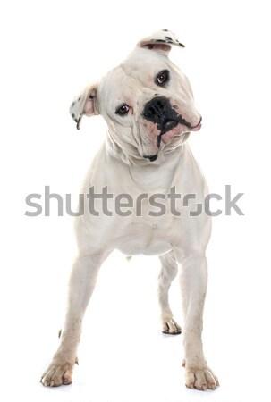 взрослый Американский бульдог белый собака молодые животного Сток-фото © cynoclub