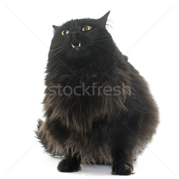 large black cat Stock photo © cynoclub