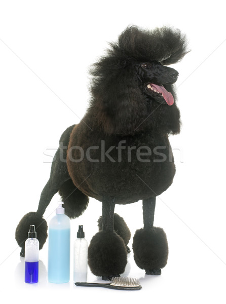 standard black poodle and shampoo Stock photo © cynoclub