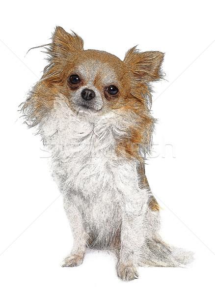 Lang haar puppy huisdier geïsoleerd Stockfoto © cynoclub