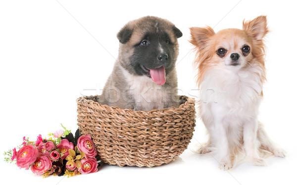 puppy american akita and chihuahua Stock photo © cynoclub