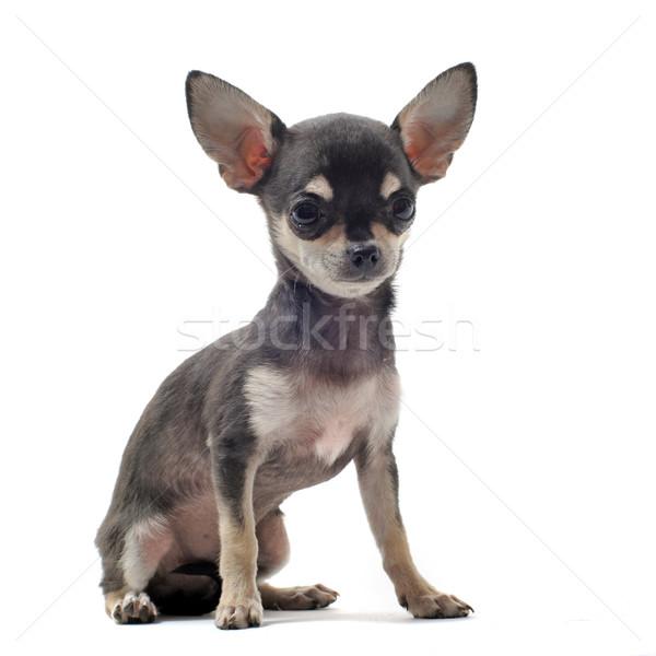 Stok fotoğraf: Köpek · yavrusu · portre · sevimli · saç · siyah