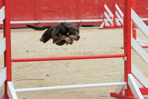 australian cattle dog in agility Stock photo © cynoclub