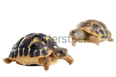 young Tortoises  Stock photo © cynoclub