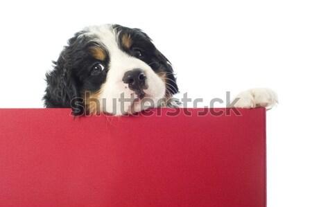 Cachorro boyero de berna cuadro retrato jóvenes Foto stock © cynoclub