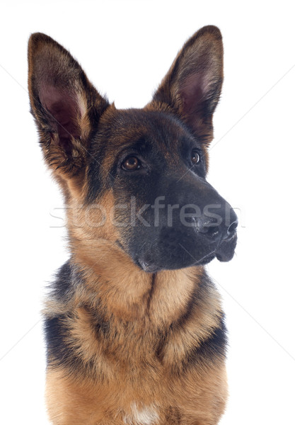 puppy german shepherd Stock photo © cynoclub