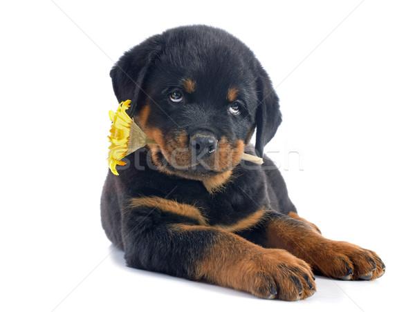 子犬 ロットワイラー 花 肖像 白 ストックフォト © cynoclub