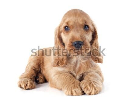 Stock foto: Welpen · Englisch · Porträt · reinrassig · Hund · weiß
