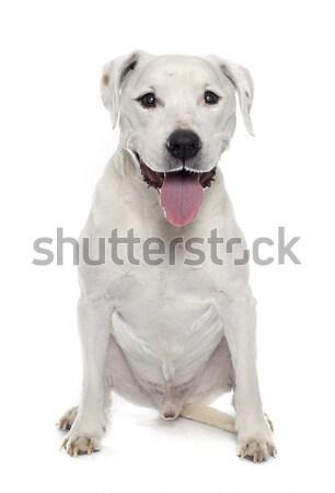 argentinian dog Stock photo © cynoclub