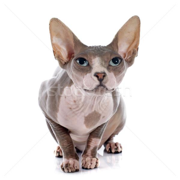 スフィンクス 毛のない 猫 白 目 皮膚 ストックフォト © cynoclub
