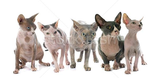 スフィンクス 毛のない 猫 白 猫 皮膚 ストックフォト © cynoclub