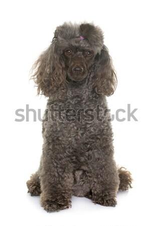 Cucciolo barboncino nero bianco cane animale Foto d'archivio © cynoclub