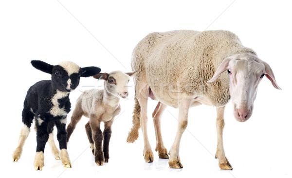Foto stock: Adulto · granja · ovejas · cordero · tres · aislado