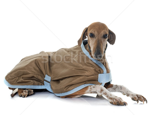 dressed azawakh hound Stock photo © cynoclub