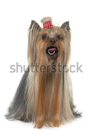 grooming yorkshire terrier Stock photo © cynoclub