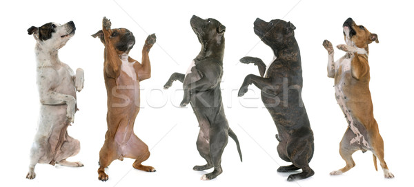 staffordshire bull terriers standing up Stock photo © cynoclub