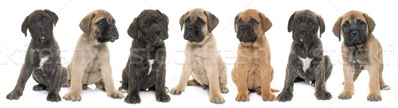 子犬 牛 マスチフ 白 小さな 動物 ストックフォト © cynoclub