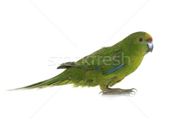 Ptaków papuga odizolowany białe tło kolorowy Zdjęcia stock © cynoclub