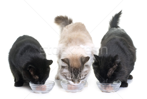 cats eating on studio Stock photo © cynoclub