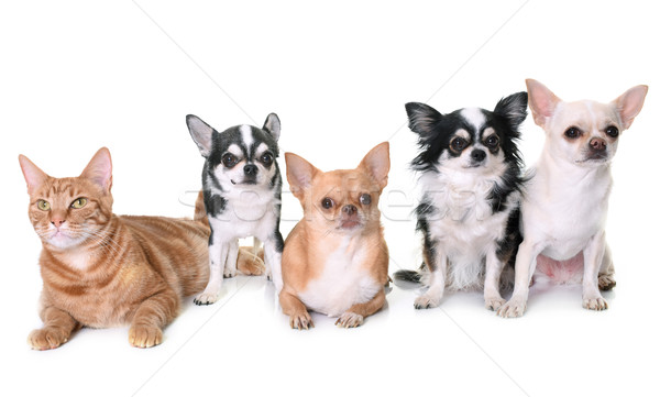chihuahuas and cat in studio Stock photo © cynoclub