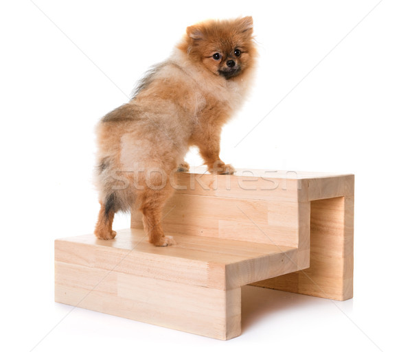 young pomeranian dog and stairs Stock photo © cynoclub
