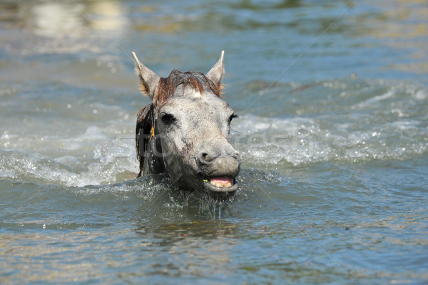 Camargue foal in the water Stock photo © cynoclub