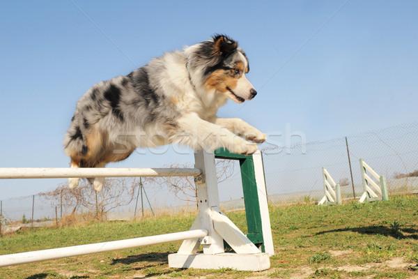 ジャンプ オーストラリア人 羊飼い 草 犬 ストックフォト © cynoclub