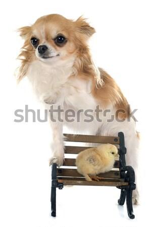 Foto stock: Antiguos · silla · cute · blanco · casa · perro