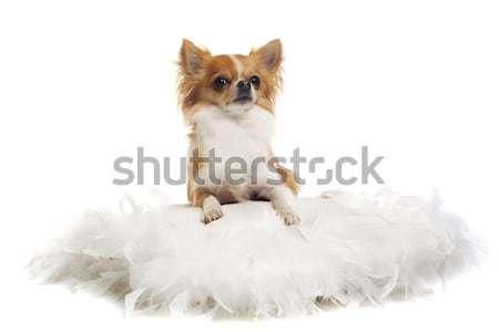 Stock photo: chihuahua