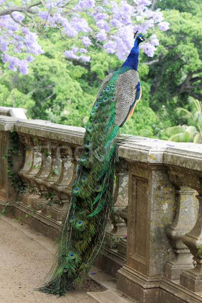 Pavão cerca azul árvore jardim Foto stock © cynoclub