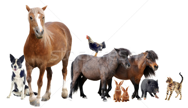 farm animals Stock photo © cynoclub