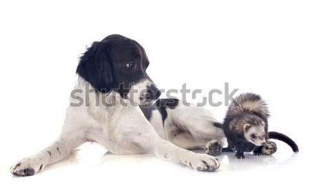 brittany spaniel and ferret Stock photo © cynoclub