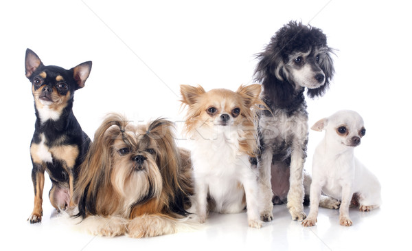 five little dogs Stock photo © cynoclub