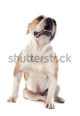 english bulldog  Stock photo © cynoclub