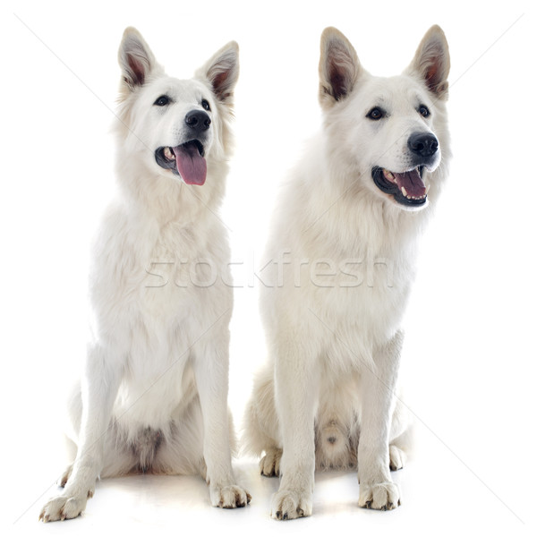 Swiss shepherd s Stock photo © cynoclub