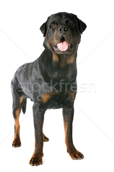 Zdjęcia stock: Rottweiler · portret · biały · domowych · białe · tło