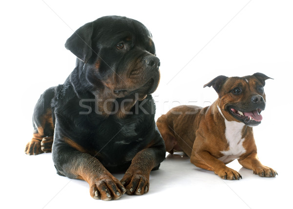 Staffordshire bull terrier and rottweiler Stock photo © cynoclub